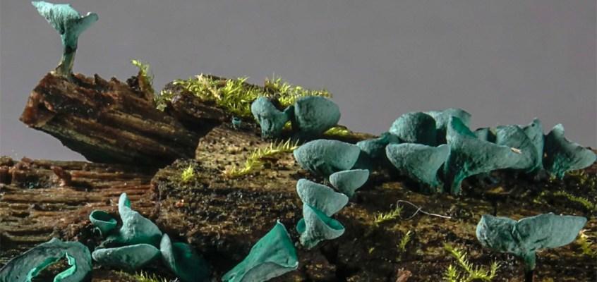 De Carl Linnæus à Carl von Linné, jusqu'au nom des champignons