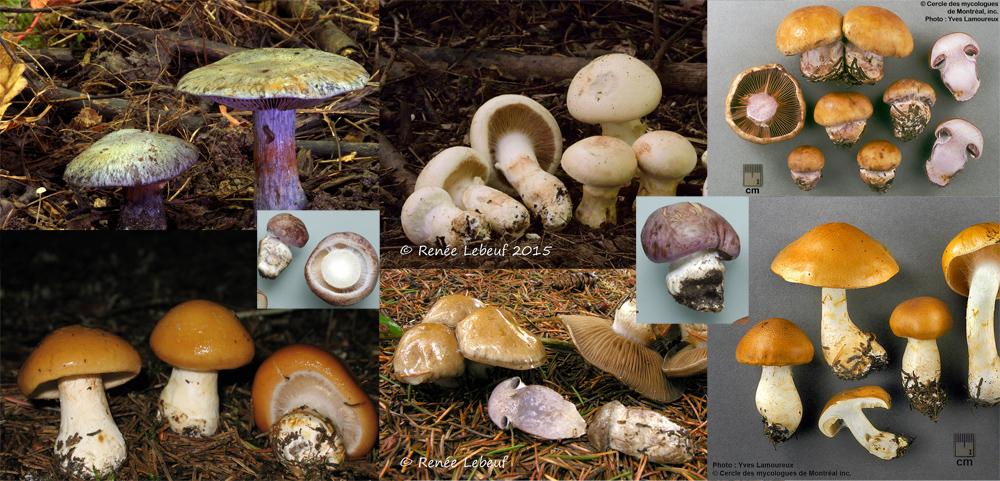 Les cortinaires, le sous-genre Phlegmacium