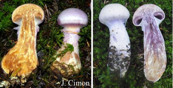 Gauche : Cortinarius traganus / Cortinaire à odeur de poire. Droite : Cortinarius camphoratus / Cortinaire puant. PHOTO : Jules Cimon