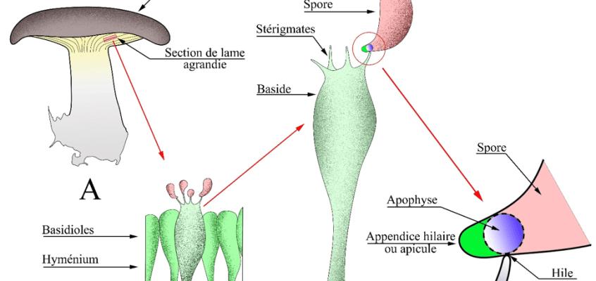 Le mécanisme d'éjection des spores des hyménomycètes