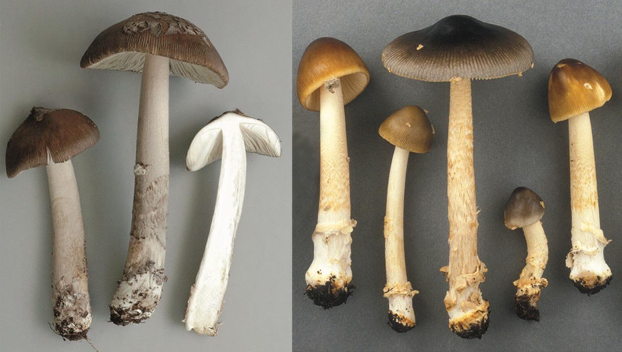 Amanita rhacopus et Amanita variicolor, deux nouvelles amanites pour la science