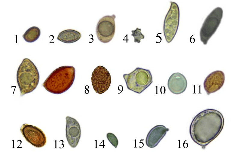 Les spores des hyménomycètes