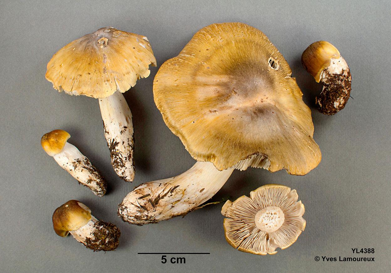 Tricholoma aff. arvernense, un tricholome robuste et doré