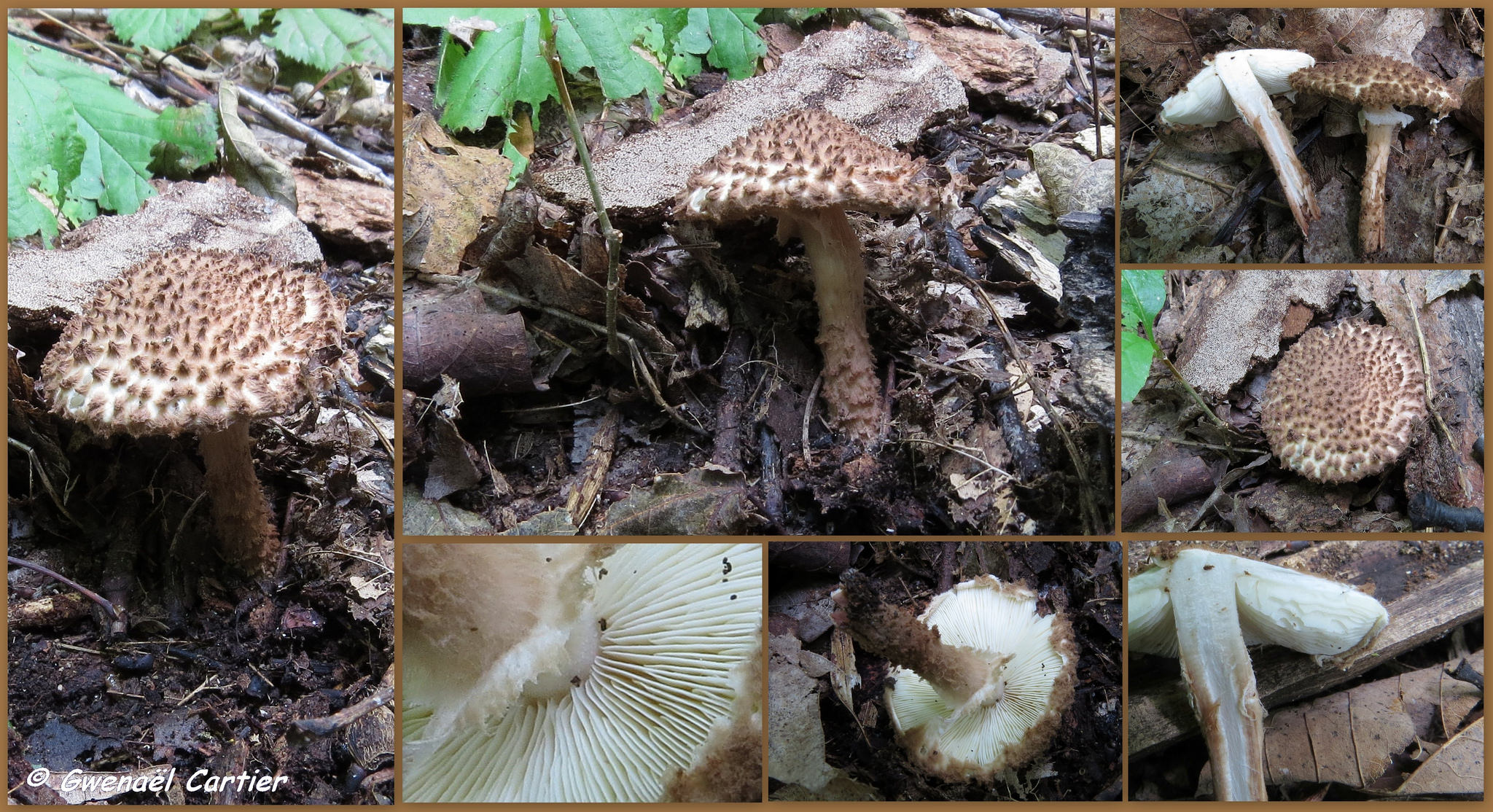La découverte d'une nouvelle lépiote pour le Québec: Echinoderma cf. eriophorum