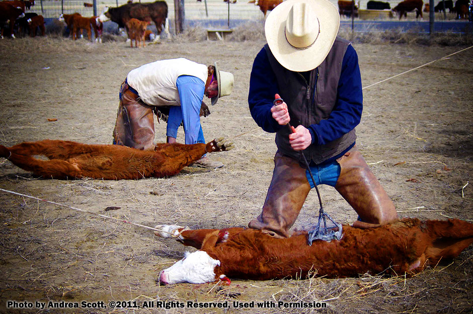 Cattle Branding in Idaho. Photo by Andrea Scott, copyright 2011. All rights reserved.