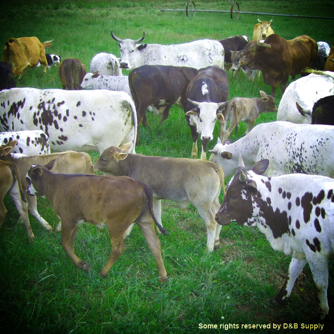 Cows and their Baby Calf's