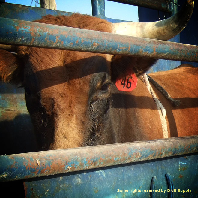 A Steer Waiting to Ride