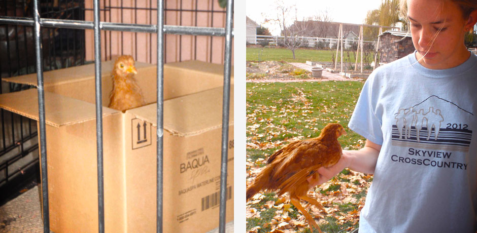 Chicken in a pen and how to carry a chicken