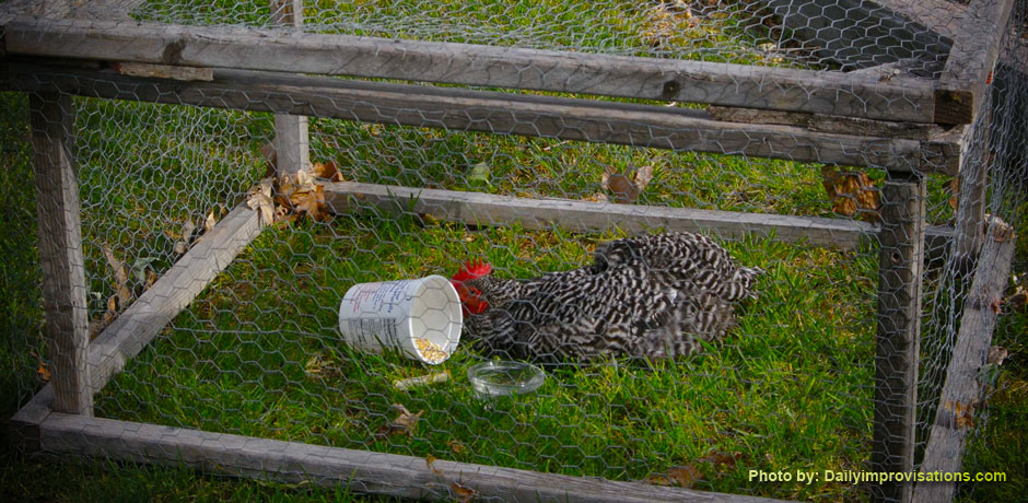 Barred Rock Hen In Simple Cage