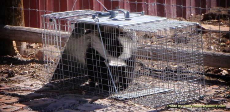 04222013a_preview_How to euthanze a skunk