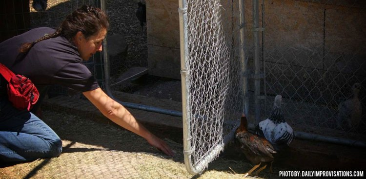 06042013_How-To-Herd-Chickens-training-chickens-to-go-under-a-fence