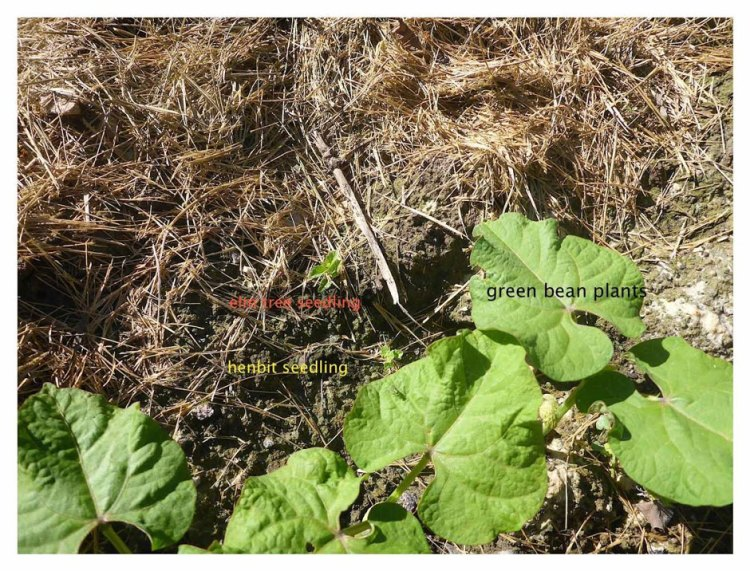 061215_enemy-weed-among-the-pole-beans