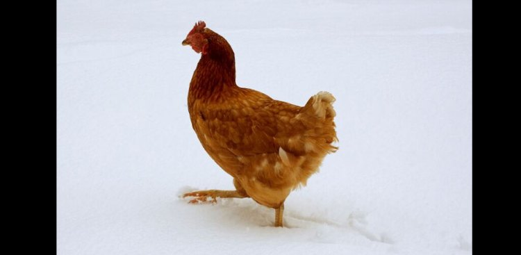 011116_Chicken-in-snow