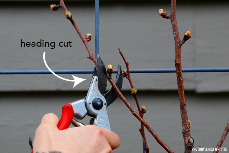 03172016_Pruning-Trees-How-to-make-a-heading-cut