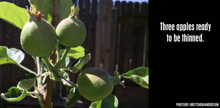 05302016_three-apples-ready-to-be-thinned