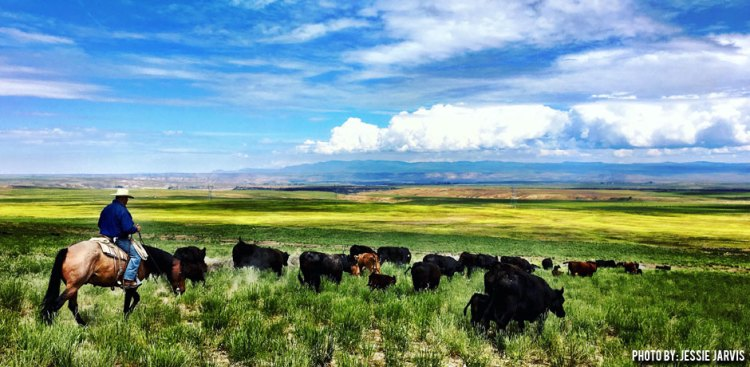 06162016_Jessie-Jarvis-with-spring-turnout-cows