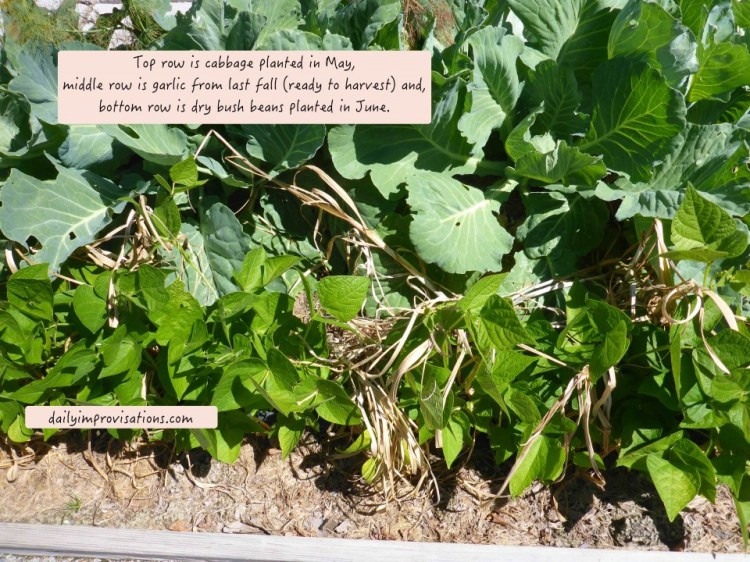 07262016_succession cabbage, garlic, dry beans
