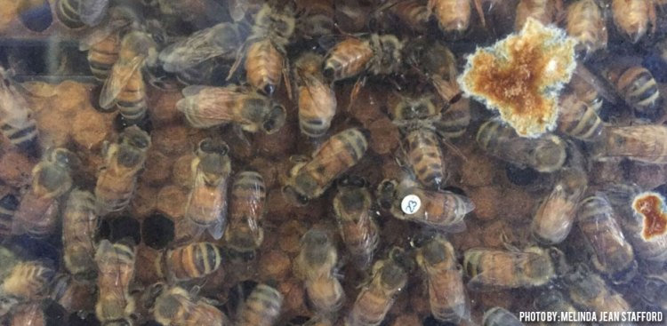 11202017_control-bees-not-affected-with-nosema-at-OSU