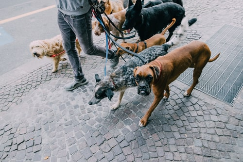 Dog walker walking several dogs at once