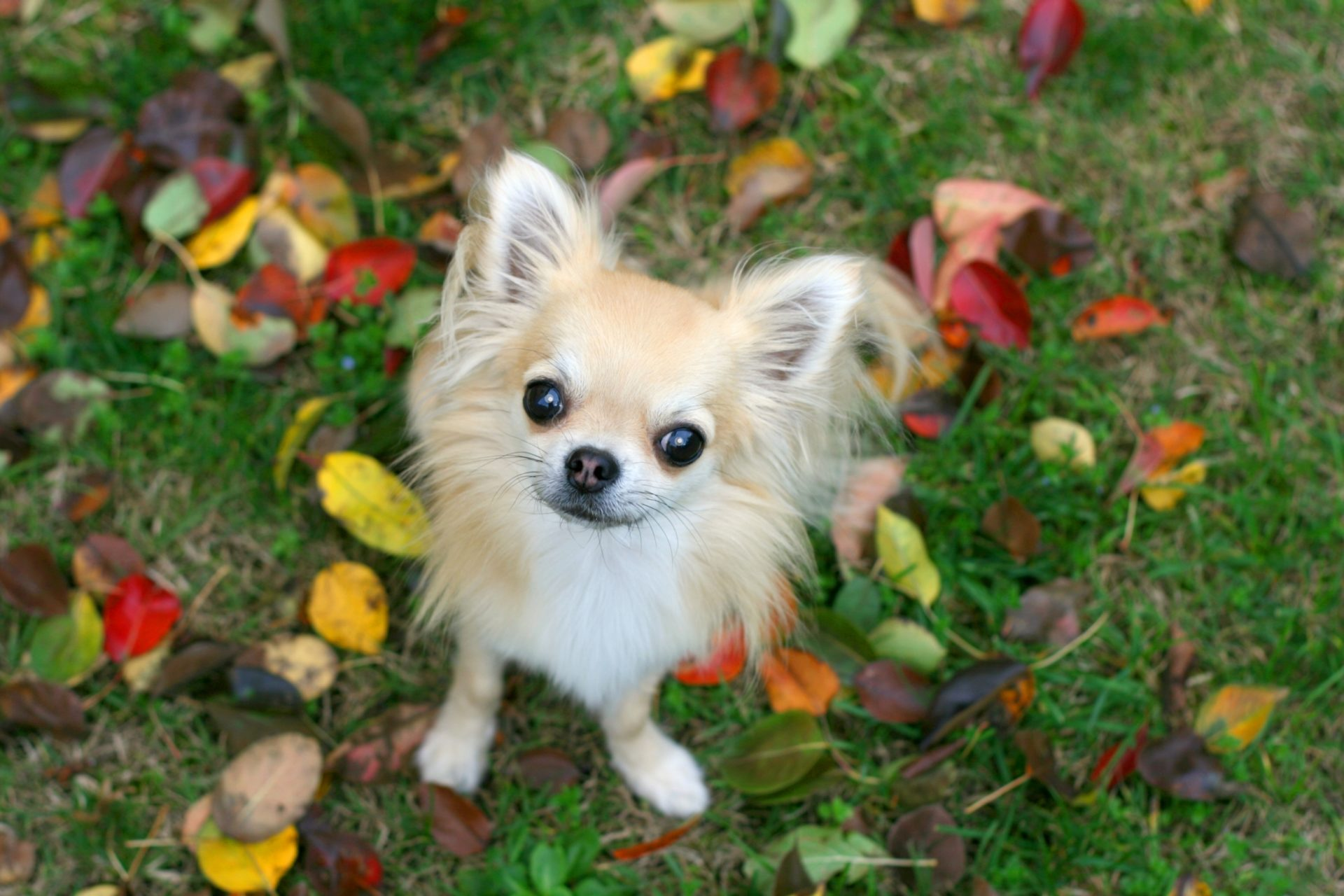 What You Need To Know About Chihuahuas