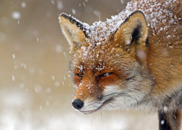 Winter Animals Hd Wallpapers Tab Theme - Mystart