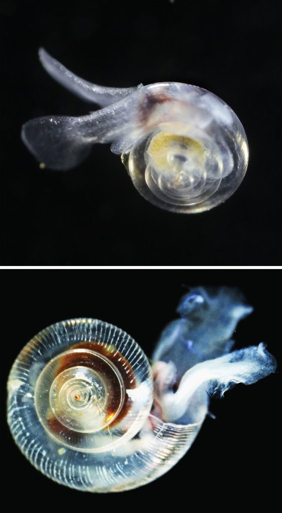 Pteropod affected by acidification of oceans