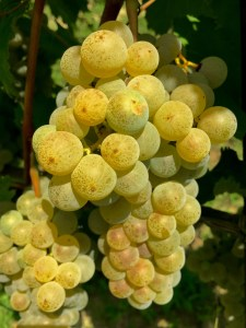 a cluster of arneis grapes from piedmont, Italy