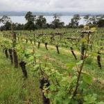 What is a Budburst: Lifecycle of the Vine