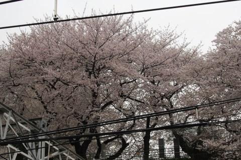 JR四ツ谷駅から見える桜 001