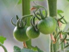 Tomato_04