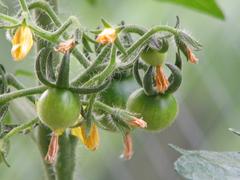 Tomato_05