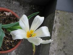 Tulip_01