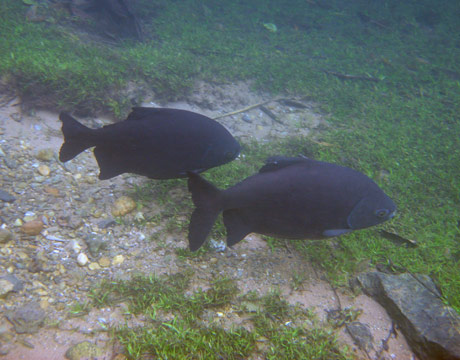 Pacu Freshwater Species of the Week  National Geographic