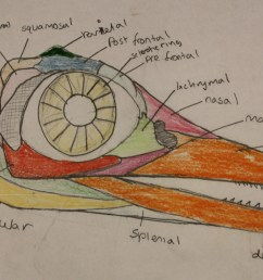sketch of the typical ichthyosaur skull with all of the different bone elements represented by colors [ 2153 x 1217 Pixel ]