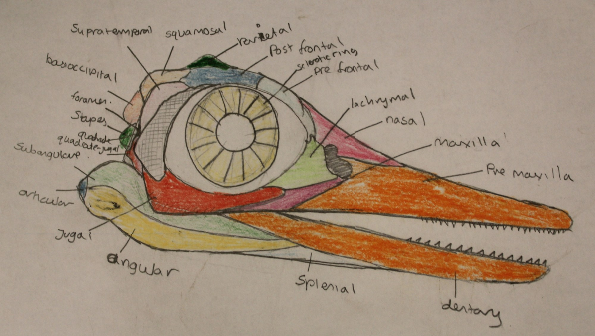 hight resolution of sketch of the typical ichthyosaur skull with all of the different bone elements represented by colors