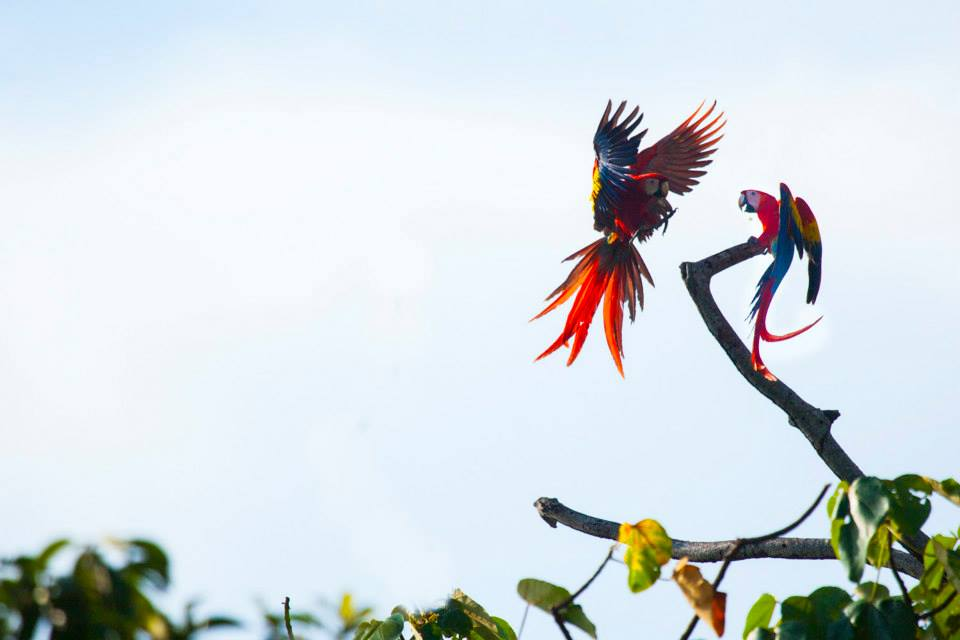 Scarlet macaws extend from extreme SE Mexico to Amazonian Peru, Bolivia and Brazil in lowlands up to 500m, suffering from local extinctions due to habitat destruction and capture for the parrot trade. (Alvaro Cubero Vega)