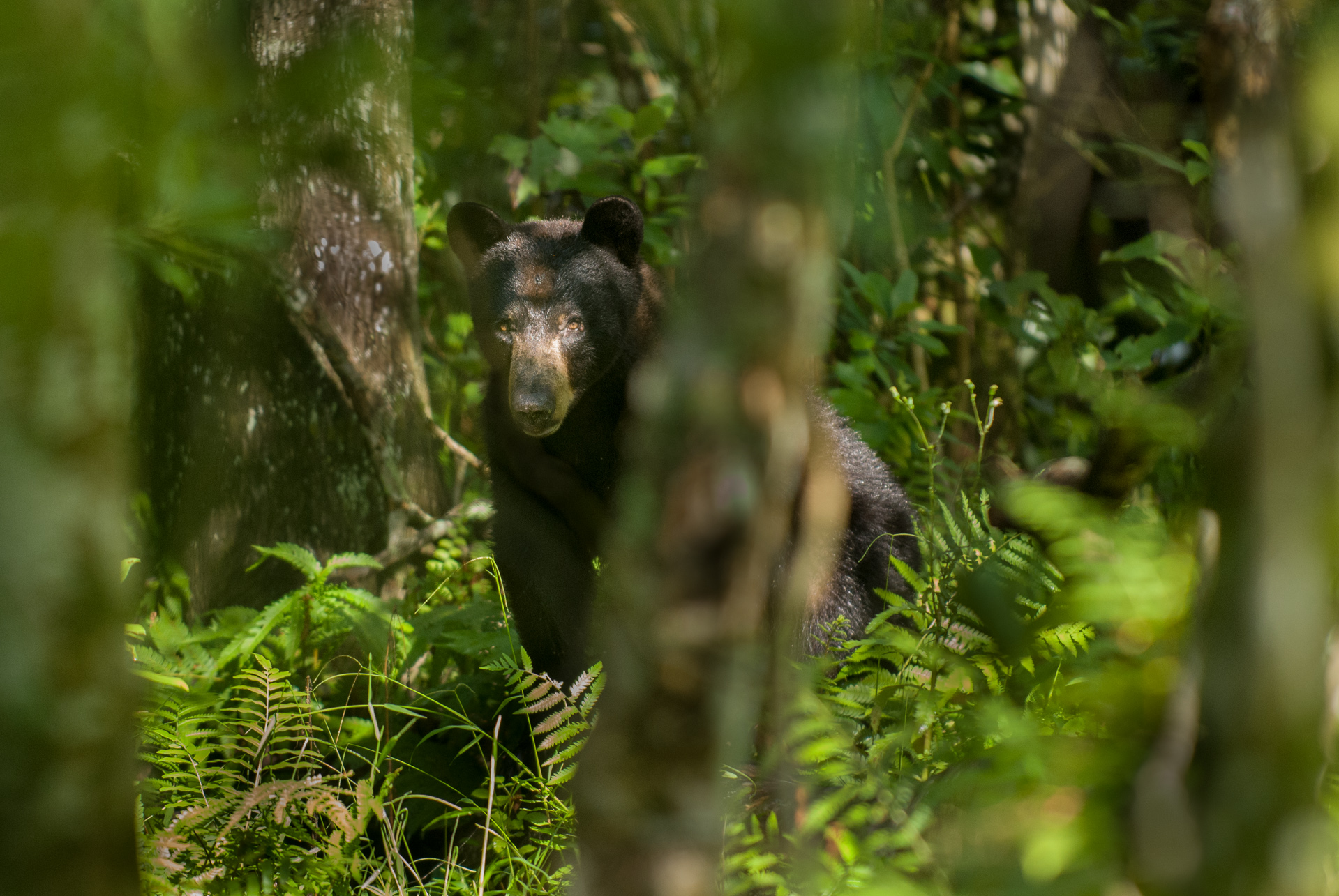 Biologist Shares Experience Of Tracking A Black Bear