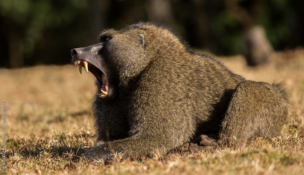 De Jong & Butynski - olive baboon mt Elgon (1)