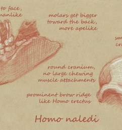 what can we learn from homo naledi s skull  [ 1200 x 721 Pixel ]