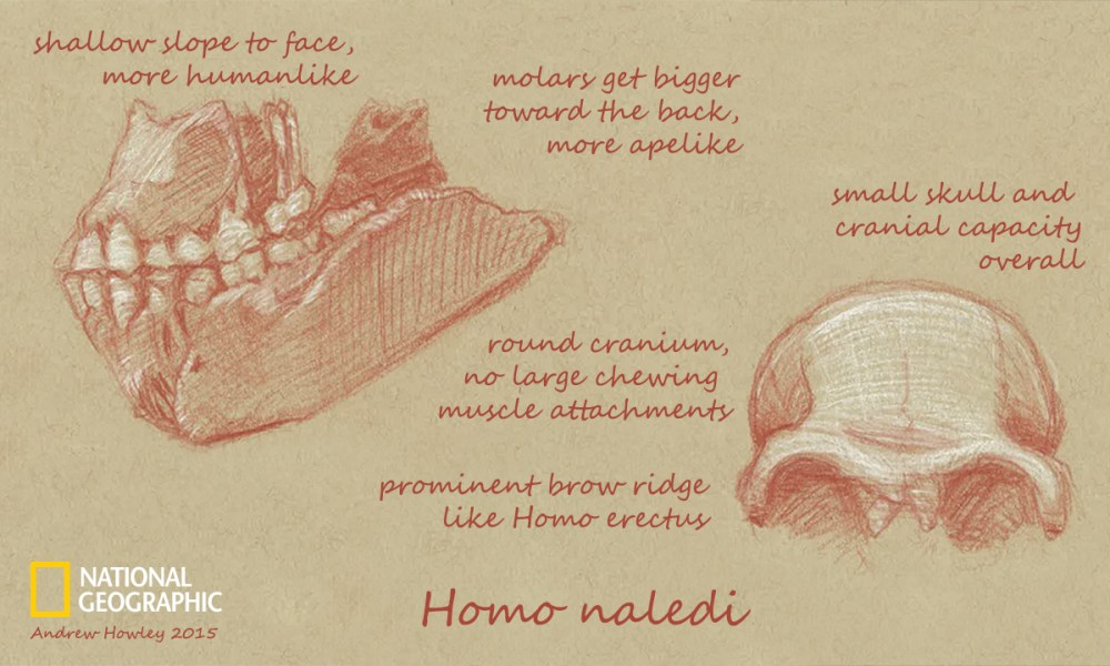 medium resolution of what can we learn from homo naledi s skull