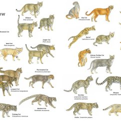 Snow Leopard Anatomy Diagram Swm Wiring Secrets Of The Worlds 38 Species Wild Cats  National