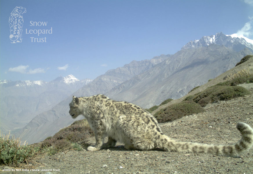 Wild Snow Leopard Prey Recovers Thanks To Reserve