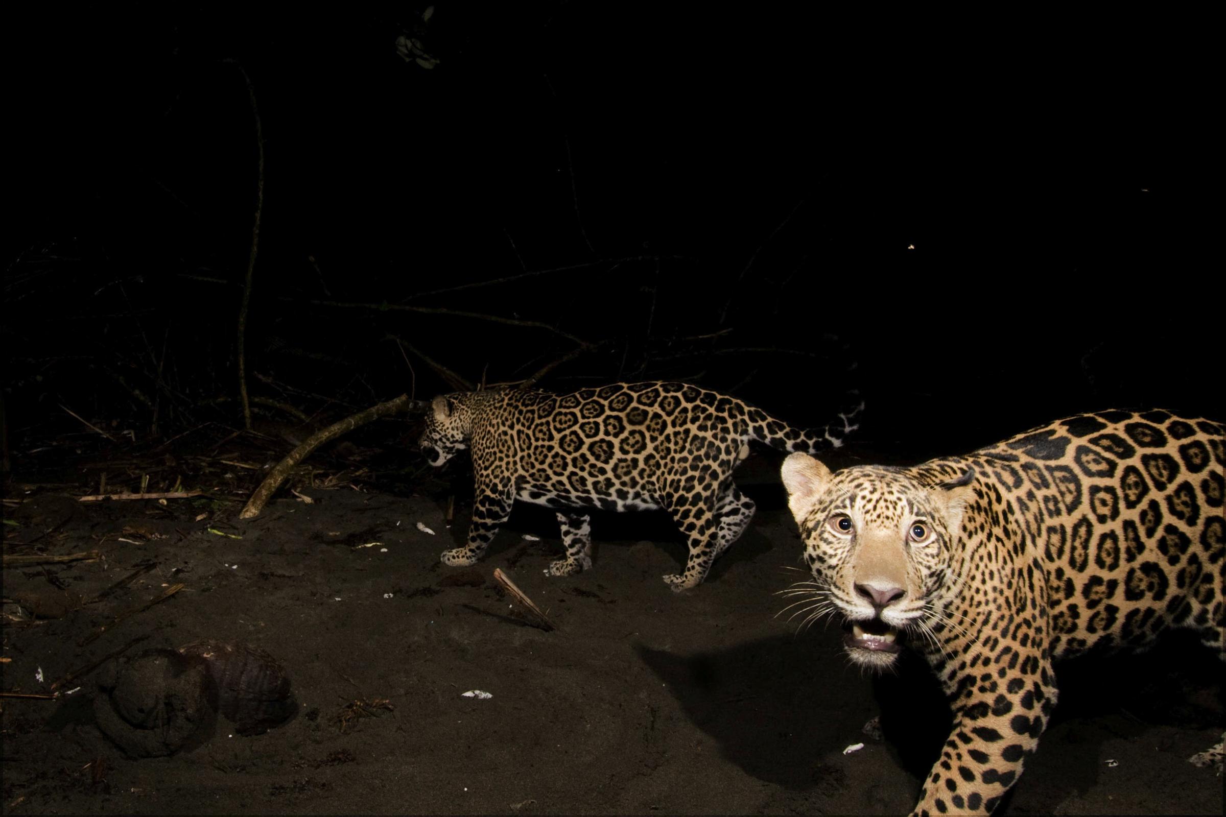 Coastal Jaguars – National Geographic Society Newsroom