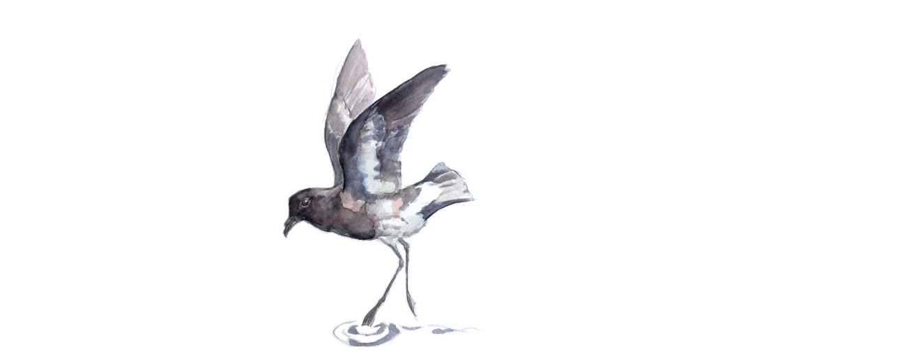 "Ghostbusting the ""Extinct"" New Zealand Storm Petrel"