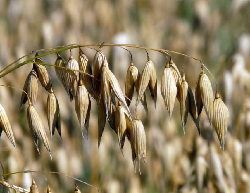 oat, field