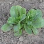 Plantbespreking: Veldsla (Valeriana locusta)