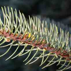 denneboomstructuur1