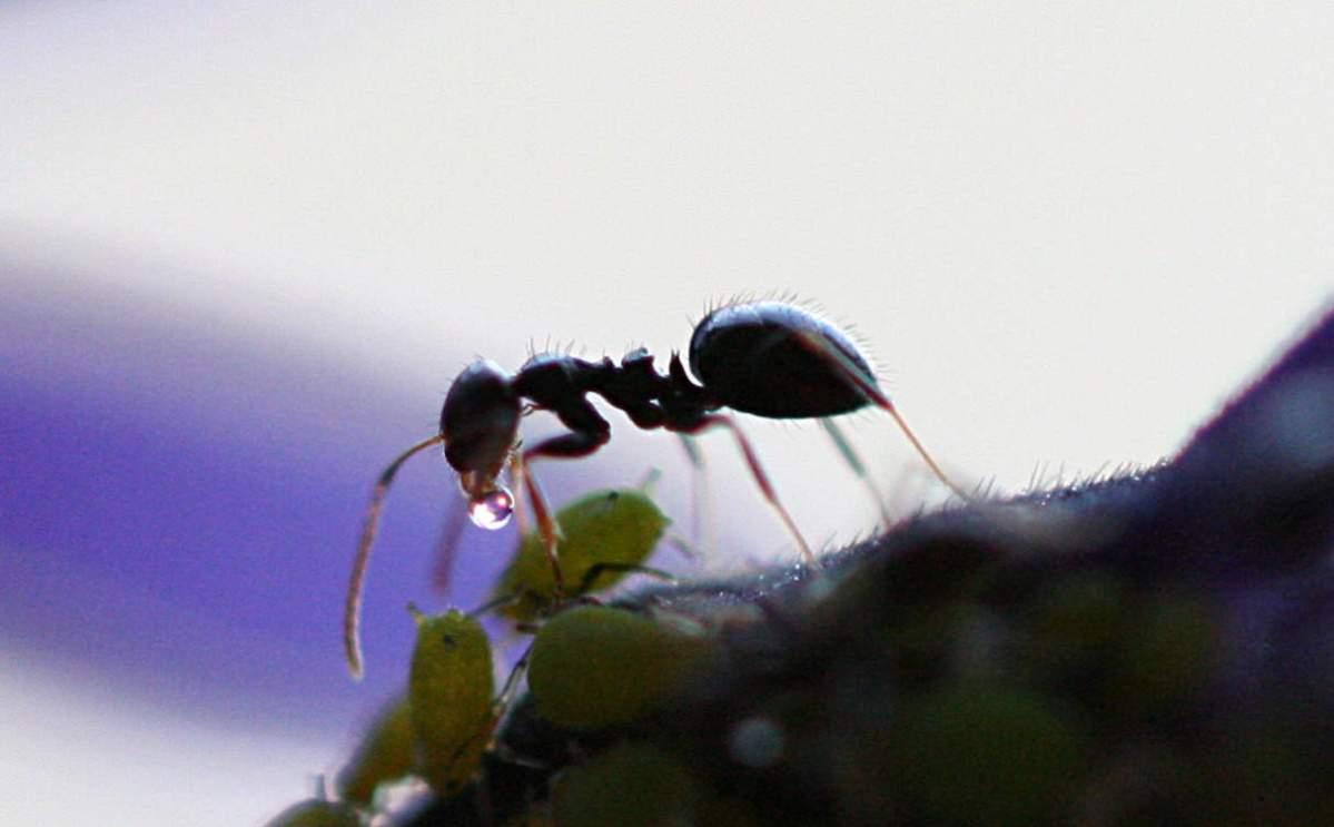 Tuinbewoners, Graag Gezien of Niet: Mieren