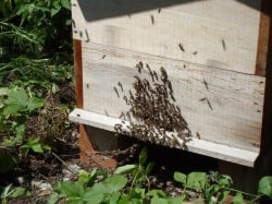 Onze Eerste Honingbijen Zijn Er!