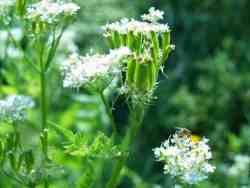 Plantenweetjes: Myrrhis odorata (Roomse kervel)